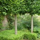 Pleached-Limes