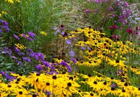 Rudbeckia, Asters, Grasses and Echinacea