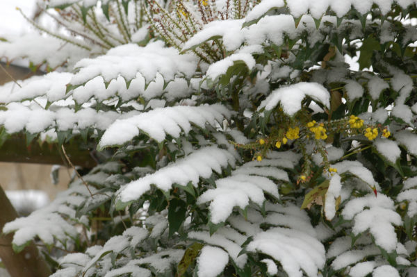 Mahonia in Winter