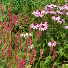 Planting-Companions-Echinacea-and-Persicaria