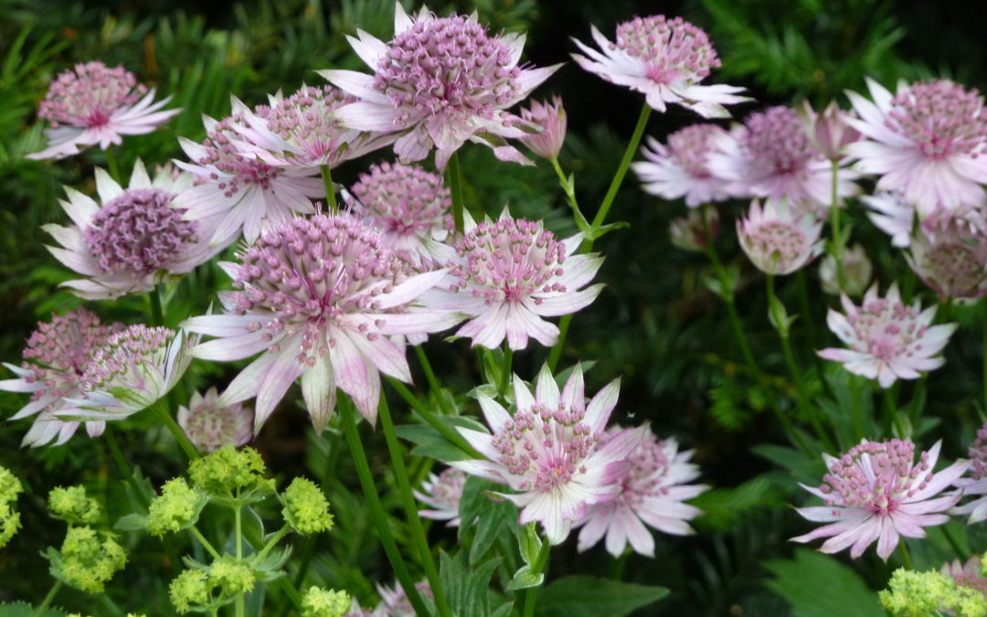 Plant of the moment – Astrantias