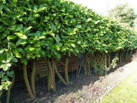 Pleached-Laurel-Hedge